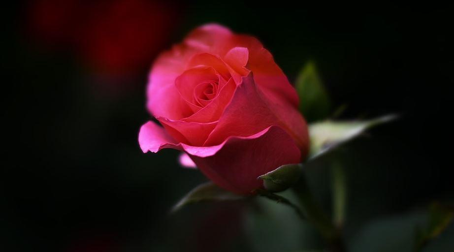 muslim wife rose